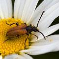 Käfer (Foto: Hans Werner Lehner)