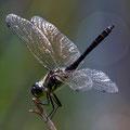 Libelle (Foto: Hans Werner Lehner)