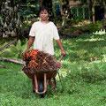 Ernte zur Palmölgewinnung / Bukit Lawang