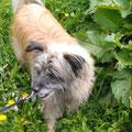 El Lobo, notre fringant Viennois / El Lobo unser fesche Wiener