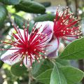 フェイジョア 花