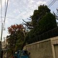 シイノキ高木剪定作業後2