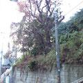 シイノキ高木剪定作業後1