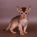 Абиссинский дикого окраса котёнок