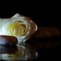 """Bild: """"Weiße Rose auf Stein"""", 80 x 60cm    €80.-"""