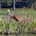 In recent years, sandhill cranes have returned to Lake Mitchell.