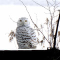 The snowy owl occasionally stops along Lake Mitchell during its migration.