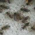 Arbeitsbienen auf Jungfernwabe