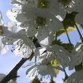 Die Kirschblütenzeit im Bienelandl