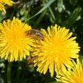 Löwenzahn bietet den Honigbienen sehr viel.