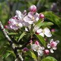 Les arbres fruitiers du jardin au printemps