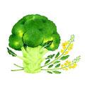 コラム「頭のよくなる野菜」挿絵 vol.14 ブロッコリー