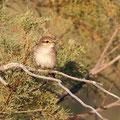 Lanius senator - Woodchat Shrike - Rotkopfwürger, Cyprus, Akamas - Lara, April 2014
