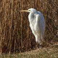 Casmerodius albus - Great Egret - Silberreiher