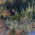 Brauner Sichler, Glossy Ibis, Plegadis falcinellus, Cyprus, Akrotiri - Zakaki Marsh, September 2018