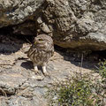 Steinkauz, Little Owl, Athene noctua, Cyprus, Paphos - Anarita Park Area, an der Bruthöhle, Mai 2018