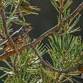 Turdus viscivorus - Mistle Thrush - Misteldrossel, Cyprus, Troodos Mountain, November 2016