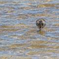Tringa erythropus - Spotted Redshank - Dunkler Wasserläufer, Cyprus, Akrotiri - Lady´s Miles, April 2015