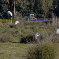 Kuhreiher, Cattle Egret, Bubulcus ibis, Cyprus, Akrotiri Marsh, 11.April 2018