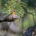Fichtenkreuzschnabel, Common Crossbill, Laxia curvinostra, Cyprus, Troodos, Livadi tou pashia, 26. October 2018