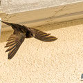 Mauersegler, Common Swift, Apus apus, Cyprus, Paphos - Moutthalos, 29. April 2017