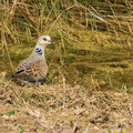 Turteltaube, Turtle Dove, Streptopelia turtur, Cyprus, Ineia-Pittokopos, Juli 2018