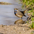 Blaukehlchen, Bluethroat male, Luscinia svecica, Cyprus, Paphos Sewage Plant, Januar 2019