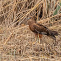 Rohrweihe, Western Marsh Harrier, Circus aeroginosus, Cyprus, Limassol, Zakaki Marsh - Pool, 18. October 2018