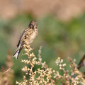 Carduelis cannabina - Linnet - Bluthänfling, Cyprusn Mandria Beach, March 2013