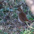 Nachtigall, Common Nightingale, Luscinia megarhynchos, Cyprus, Pegeia-Agios Georgios, our Garden, April 2019