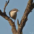 Klappergrasmücke - Lesser Whitethroat, Cyprus, Kathikas, 02.09.2011, EOS-1D MarkIV, EF500mm+1,4x TCII, Av, Spot, 1/1250 sek, f/6,3, ISO 250