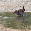 Wasserralle, Water Rail, Rallus aquaticus, Cyprus, Limassol, Zakaki Marsh - Pool, 18. October 2018