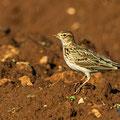 Feldlerche, Eurasian Skylark, Alauda arvensis, Cyprus, Mandria Fields, Januar 2017