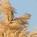 Emberiza schoeniclus - Reed Bunting - Rohrammer, Cyprus, Fassouri, Feb. 2014