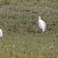 Kuhreiher, Cattle Egret, Bubulcus ibis, Cyprus, Akrotiri Marsh, 11.April 2018
