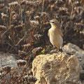 Oenanthe isabellina - Isabelline Wheatear - Isabellsteinschmätzer, Cyprus, Paphos Headland, August 2011