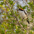 Rotkopfwürger, Woodchat Shrike, Lanius senator, Cyprus, Pegeia-Agios Georgios, our Garden, April 2019