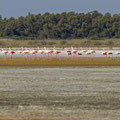 Rosaflamingo, Greater Flamingo, Phoenicopterus ruber, Cyprus, Akrotiri Salt Lake, October 2018