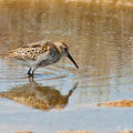 Calidris alpina - Dunlin - Alpenstrandläufer, Cyprus, Petounta, Aug. 2013