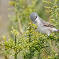 Sylvia curuca - Lesser Whitethroat - Klappergrasmücke, Cyprus, Anarita, March 2016