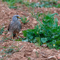 Turmfalke, Common Kestrel, Falco tinnunculus, Cyprus, Pegeia - Agios Georgios, March 2019