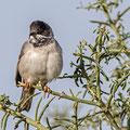Sylvia ruepelli - Rüppell´s Warbler - Maskengrasmücke, Cyprus, Anarita Park, March 2015