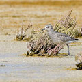 Kiebitzregenpfeiffer, Grey Plover, Pluvialis squatorola, Cyprus, Akrotiri Salt Lake, October 2018
