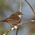 Sylvia melanocephala - Sardinian Warbler - Samtkopf-Grasmücke, Cyprus, Paphos Headland, Dec. 2011