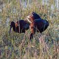 Brauner Sichler, Glossy Ibis, Plegadis falcinellus, Cyprus, Akrotiri Marsh, 11.April 2018