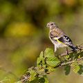 juvenile Distelfink, Goldfinch, Carduelis carduelis, Cyprus, Ineia-Pittokopos, Juli 2018