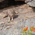 Steinkauz, Little Owl, Athene noctua, Cyprus, Paphos - Anarita Park, Breeding Place, April 2019