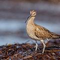 Numenius phaeopus - Whimbrel - Regenbrachvogel, Cyprus, Paphos - Kefalos Beach, Februar 2015
