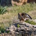 Buteo buteo - Common Buzzard - Maeusebussard, Cyprus, Mandria Beach, Februar 2016