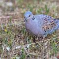 Ringeltaube, Common Wood Pigeon, Columba palumbus, Cyprus, Pegeia-Agios Georgios, our Garden, April 2019